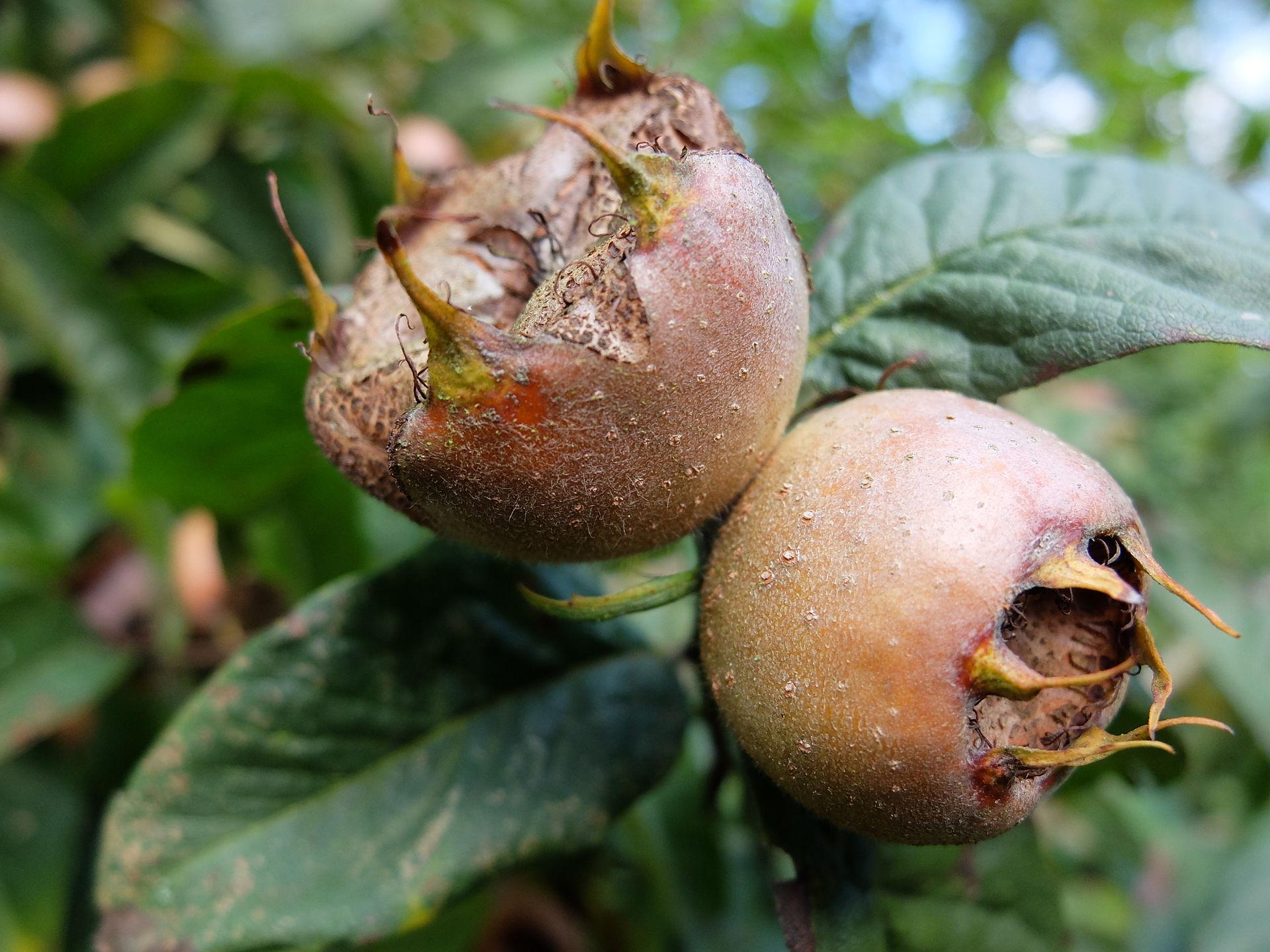 Vruchten van mispel